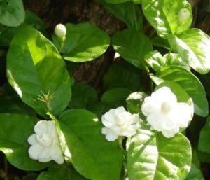 Cây hoa nhài ta