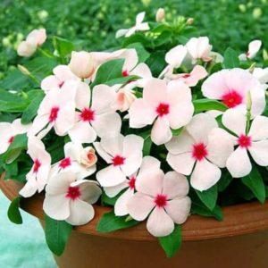 Dừa cạn còn được gọi là Bông Dừa, Trường Xuân Hoa
