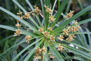 lá và hoa thủy trúc