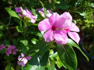 Dừa cạn có thể nở quanh năm, hoa nhiều màu sắc