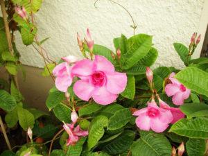 Hoa hồng anh khá giống hoa huỳnh anh nhưng màu hồng