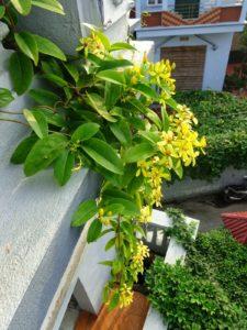 Giàn hoa Mai Hoàng Yến đẹp buông trong gió