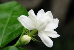 Hoa nhài rất thơm và quyến rũ, thu hút