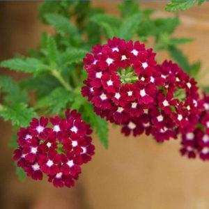 cây hoa Vân Anh làm quà tặng