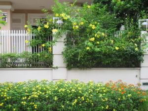 Cây Huỳnh Đệ trên hàng rào