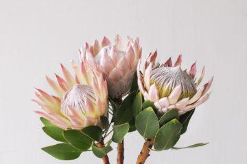 Cây Hoa Protea – Người Nam Phi thầm lặng