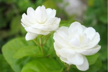 Cây hoa nhài – Sự nồng nàn không thể chối từ
