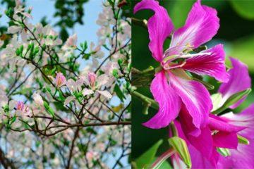 Phân biệt cây Móng Bò và cây Hoa Ban