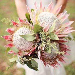 Hoa Protea rất to và chứa nhiều mật tự nhiên
