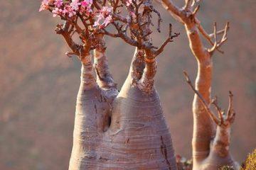 Cây hoa Sứ Thái – Khúc dịu êm giữa vùng sa mạc
