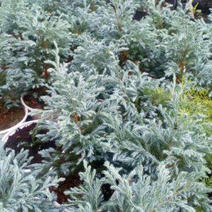 Cây Tuyết Tùng có lá khá giống những bông tuyết trắng