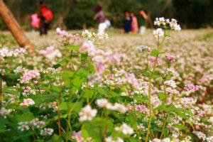 Cây hoa Tam Giác Mạch tại Hà Giang