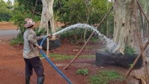 Tưới nước cho cây giáng hương