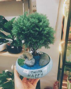 Quà tặng là cây Tuyết Tùng mang ý nghĩa trường thọ, kiên cường