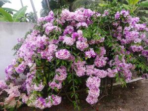 Bụi cây hoa lan tỏi khá bắt mắt