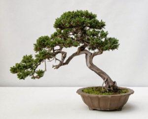 Tùng bồng lai bonsai