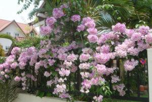 giàn cây hoa lý tỏi