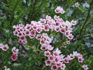 Hoa Thanh Liễu hồng