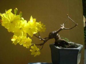 Mai vàng tứ quý thường nở đúng dịp tết nguyên đán, đầu xuân mang lại tài lộc và may mắn