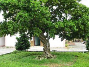 Cây hoa nguyệt quế mang nhiều ý nghĩa và công dụng