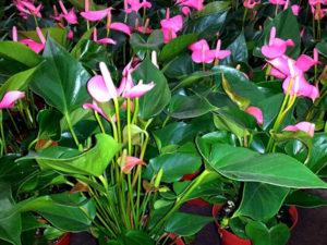 Cây Tiểu Hồng Môn – Nét khác biệt trên mặt bàn đơn điệu