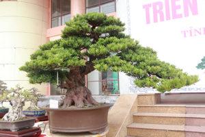 Tùng la hán dáng cây đẹp, sức sống mãnh liệt