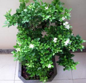 Chậu cây hoa nguyệt quế