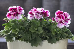 Hoa phong lữ rất sặc sỡ và cuốn hút