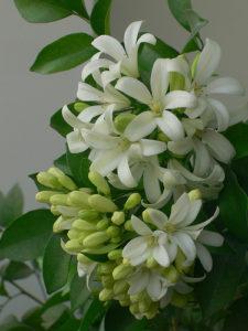 Hoa nguyệt quế có mùi thơm rất cuốn hút