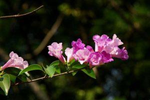 Lý tỏi còn có tên khác là cây lan tỏi hay dây ánh hồng