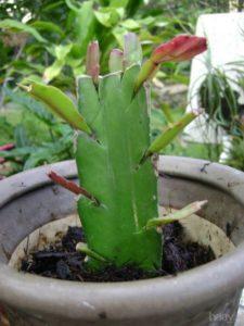 Cây lan càng cua được ghép trên thân cây xương rồng