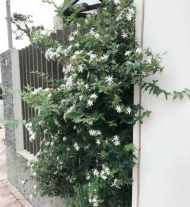 cây nguyệt quế làm hàng rào