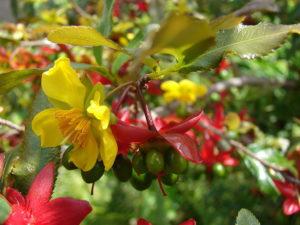 Lớp cánh hoa mai vàng rụng xuống là lớp đài hoa chuyển dần sang màu đỏ như một lớp cánh hoa mới