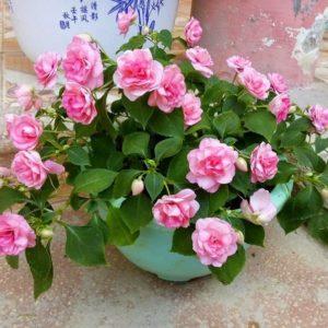 Hoa Ngọc Thảo nở rất bắt mắt, nhiều và màu đa dạng
