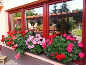 Cây hoa phong nữ thảo ngoài ban công