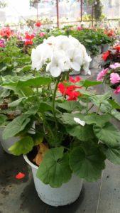 Hoa phong lữ thảo trắng