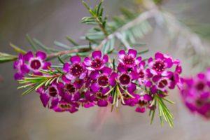 Cây Thanh Liễu thường ra hoa vào mua hè và mùa thu