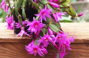 Hoa lan càng cua nhiều màu và rất sai hoa