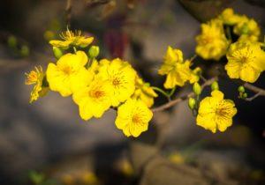 Hoa mai vàng tứ quý