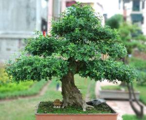 Cây hoa nguyệt quế bonsai