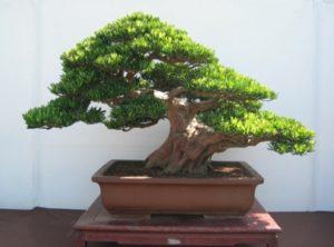 Cây Tùng La Hán bonsai