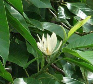 Hoa Ngọc Lan biểu tượng cho sự tinh khiết, dịu dàng mà lưu luyến