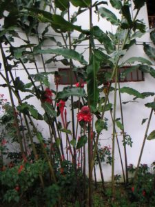 Bụi sen đa lộc trồng ven tường nhà