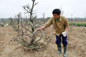 Cây đào kích rễ trước khi trồng