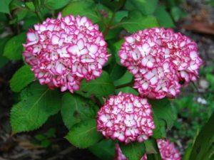 Hoa Cẩm Tú Cầu tượng trưng cho lòng biết ơn, bao dung chân thành