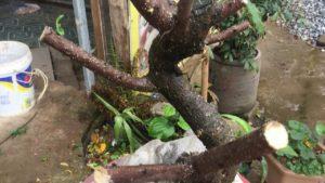 Ngay sau khi trồng cần cắt tỉa sâu trong đợt đầu tiên.
