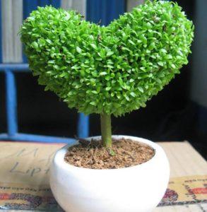 Cây cỏ may mắn thân nhỏ, thân thường có 3 lá