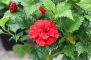Cây hoa dâm bụt thuộc họ Bông, sức sống khỏe, chịu khắc nghiệt tốt