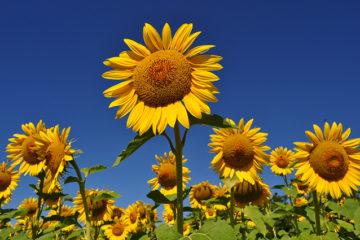 Cây hoa hướng dương – hoa của niềm hi vọng