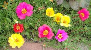 Hoa thường nở một lần từ 8-10h hàng ngày